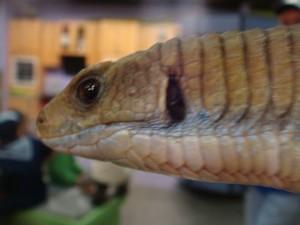 Lizard Brain?